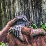 Orangutan in the jungle of Borneo Indonesia. Stock Photos
