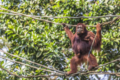 Orangutan in the jungle of Borneo Indonesia. Royalty Free Stock Photography