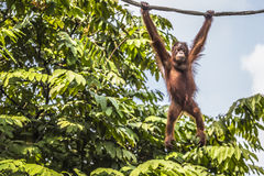 Orangutan in the jungle of Borneo Indonesia. Royalty Free Stock Photos