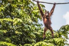 Orangutan in the jungle of Borneo Indonesia. Royalty Free Stock Photos