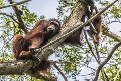 Orangutan in the jungle of Borneo Indonesia. Stock Image