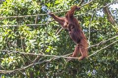 Orangutan in the jungle of Borneo Indonesia. Royalty Free Stock Photo