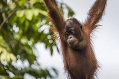 Orangutan in the jungle of Borneo Indonesia. Stock Images