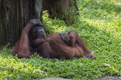 Orangutan in the jungle of Borneo Indonesia. Royalty Free Stock Images