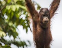 Orangutan in the jungle of Borneo Indonesia. Stock Photography