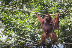 Orangutan in the jungle of Borneo Indonesia. Royalty Free Stock Photography