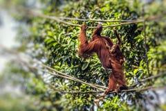 Orangutan in the jungle of Borneo Indonesia. Royalty Free Stock Image