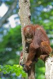 Wild Borneo Orangutan Royalty Free Stock Images