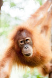 Orangutan. In the jungle of Sumatra Royalty Free Stock Images