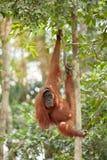 Orangutan. In the jungle of Sumatra Stock Photos