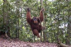Orangutan in the jungle. Sumatra Royalty Free Stock Images