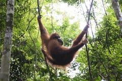 Orangutan in the jungle. Sumatra Royalty Free Stock Photo