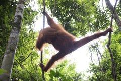 Orangutan in the jungle. Sumatra Stock Photos