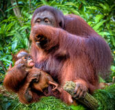 Orangutan with juvenile Royalty Free Stock Photo