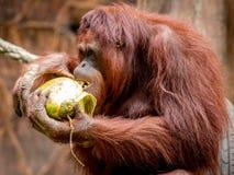 Kalimantan Orangutans eating coconut. Kalimantan orangutans are eating coconut in the sunday morning at Bandung Zoo stock images