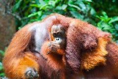 Orangutan kalimantan tanjung που βάζει το εθνικό πάρκο Ινδονησία Στοκ εικόνα με δικαίωμα ελεύθερης χρήσης
