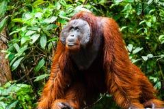 Orangutan Kalimantan tanjung kładzenia park narodowy Indonesia Zdjęcia Royalty Free