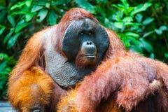 Orangutan kalimantan tanjung puting national park indonesia Royalty Free Stock Photography