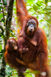 Orangutan kalimantan tanjung puting national park indonesia royalty free stock images