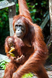 Orangutan kalimantan tanjung puting national park indonesia Royalty Free Stock Image