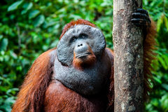Orangutan kalimantan tanjung puting national park indonesia Royalty Free Stock Photography