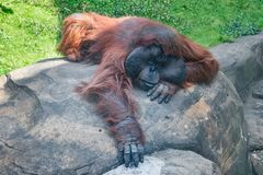Orangutan lies with outstretched front paw on a rock Royalty Free Stock Images
