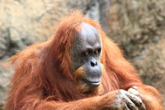 Orangutan looking at his hands Royalty Free Stock Images