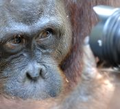 Orangutan looks in the camera. A portrait of the young orangutan on a nickname Ben. Close up at a short distance. Royalty Free Stock Image
