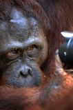 The orangutan looks in a lens. Royalty Free Stock Photos
