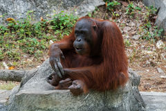 Orangutan lub Pongo pygmaeus Obrazy Stock
