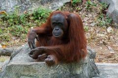 Orangutan lub Pongo pygmaeus Obrazy Royalty Free