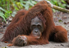 Orangutan lying on the ground in the jungle. Indonesia. The island of Kalimantan (Borneo). Royalty Free Stock Photo