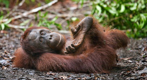 Orangutan lying on the ground in the jungle. Indonesia. The island of Kalimantan (Borneo). Stock Images