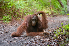Orangutan lying on the ground in the jungle. Indonesia. The island of Kalimantan (Borneo). Royalty Free Stock Images