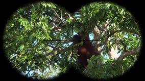 Orangutan Małpi Pongo Widzieć przez lornetek Dopatrywań zwierzęta przy przyroda safari zbiory