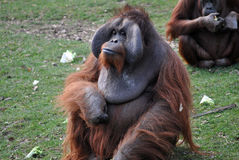 Orangutan male Royalty Free Stock Photo
