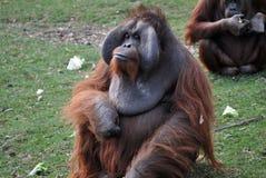 Orangutan male royalty free stock photo