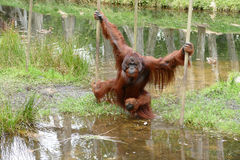 Orangutan male with cheek pads crossing water Stock Photography