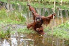 Orangutan male with cheek pads crossing water Stock Photography