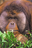 Orangutan male Stock Photo