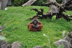 Orangutan. A male orangutan sitting on the ground stock photography