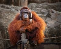 Orangutan is sitting. Orangutan,A male Sumatran Orangutan. Sumatran Orangutans are critically endangered in the wild due to deforestation for palm oil Royalty Free Stock Photo