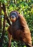 Orangutan maschio dominante Fotografia Stock Libera da Diritti