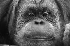 Orangutan monkey close up portrait in black and white Royalty Free Stock Photo