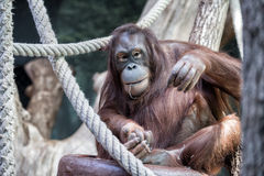 Orangutan monkey close up portrait look at you Royalty Free Stock Photo