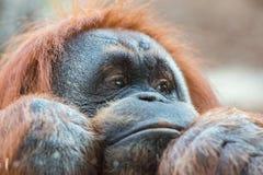 Orangutan monkey close up portrait Royalty Free Stock Photos