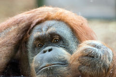 Orangutan monkey close up portrait Royalty Free Stock Image