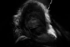 Orangutan monkey close up portrait Stock Image