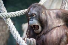 Orangutan monkey close up portrait Royalty Free Stock Photo