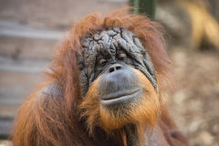 Orangutan monkey close up portrait Stock Photo